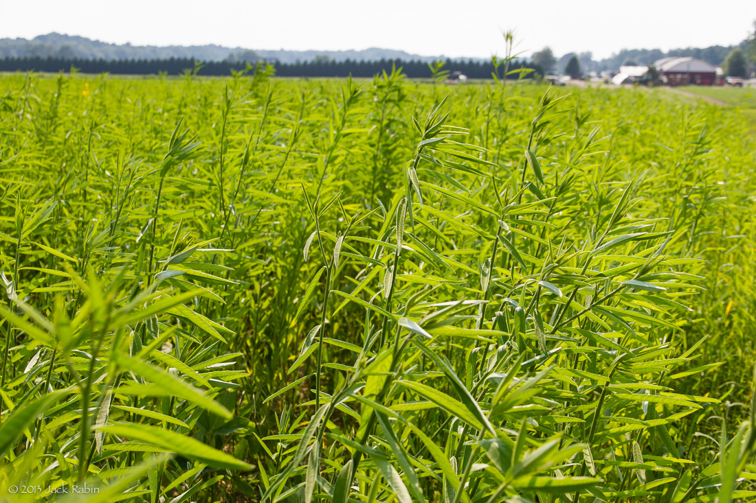 Hemp a crop with no future for this society